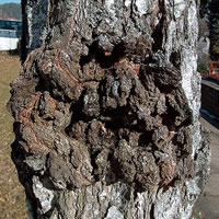 Tree Problems - Tree Canker