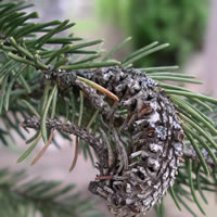 Cooley Spruce Gall treatment