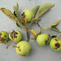 Leaf Spot Treatment - Apple Scab